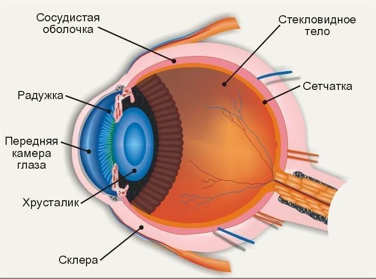 Описание Ётроение роговицы глаза. Патологии роговицы составляют. в.